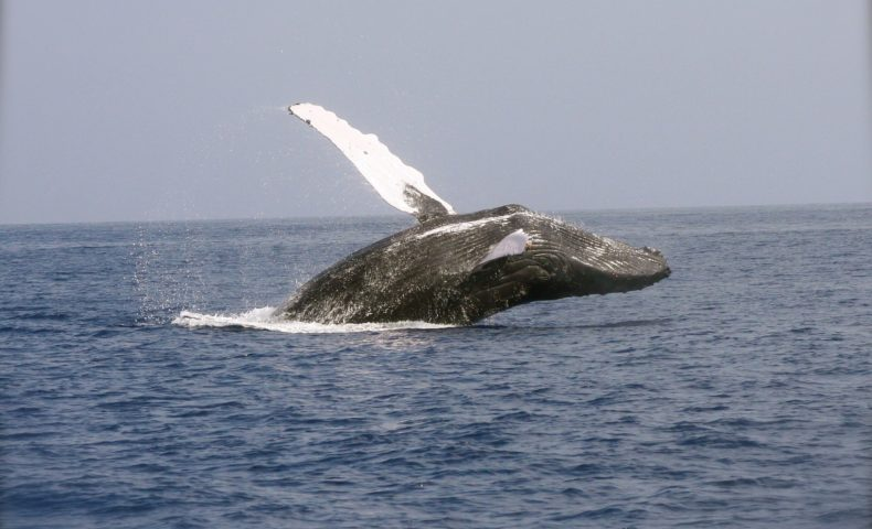 世界最大の生き物「クジラ」はどうしてあんなにも大きいのか