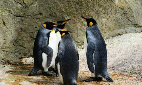 あなたは幾つ知ってます!?知られざるペンギンの種類