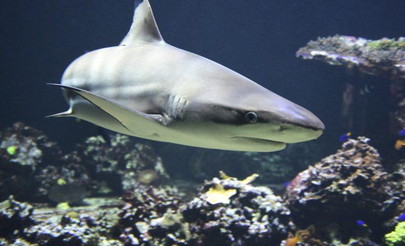 サメの種類は500種類!?あなたの知らないサメの世界!!