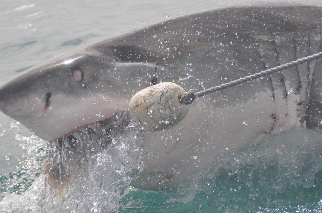 サメは人を襲わない?