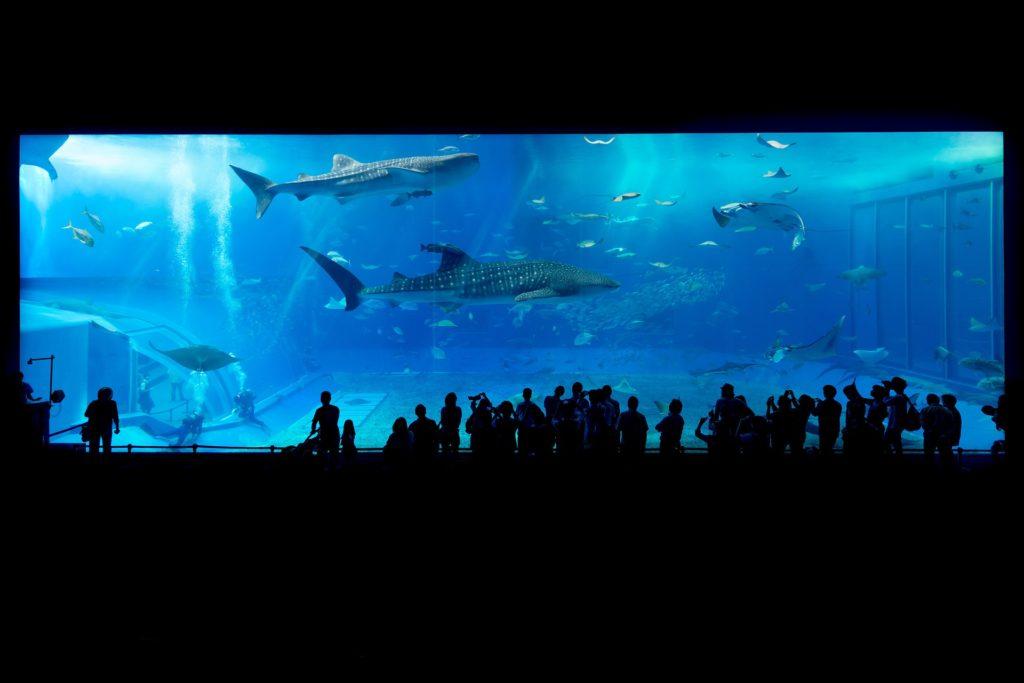 「ジンベエザメ 美ら海水族館