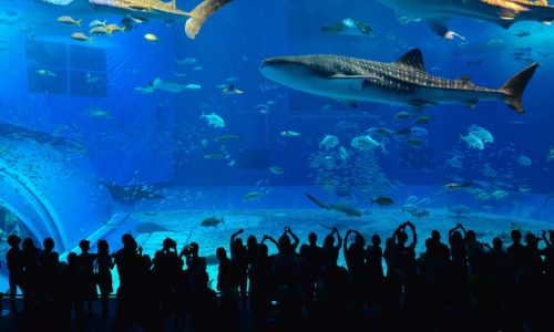 水族館の人気者「ジンベエザメ」の知られざる生態を知ろう!