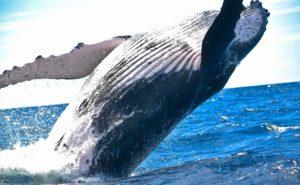 海の生き物シリーズ「世界最大の生物クジラのトリビア10選」